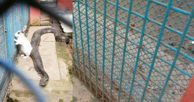 চিড়িয়াখানায় অজগরের খাঁচায় জীবিত খরগোশ গুনছিলো মৃত্যুর ক্ষণ