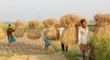 জয়পুরহাটে আগাম আমন ধান ঘরে তুলতে ব্যস্ত কৃষক